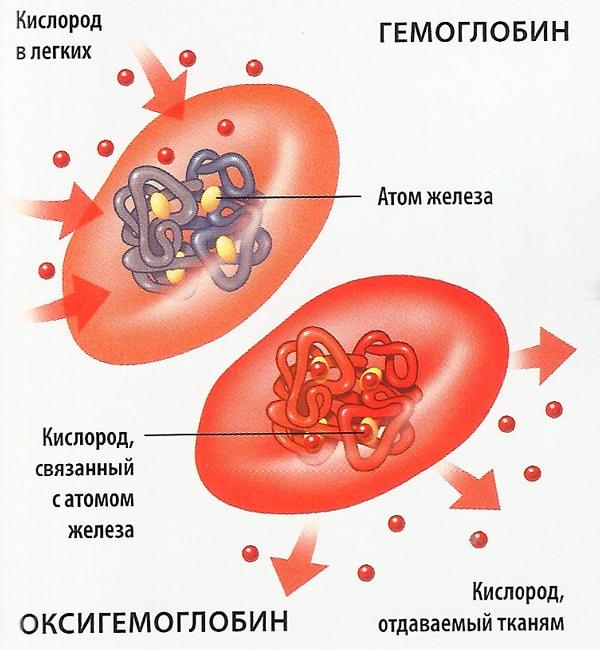 Составляющие гемоглобина